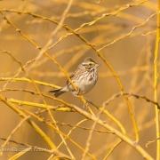 Savana Sparrow Q54A1889