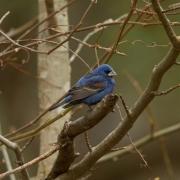 Blue Grosbeak Q54A2928