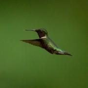 Ruby Throated Hummingbird Q54A3213