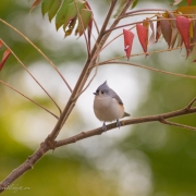 Tufted Titmouse Q54A7255