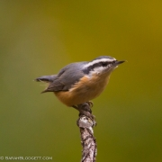 Red Breasted Nuthatch Q54A7546