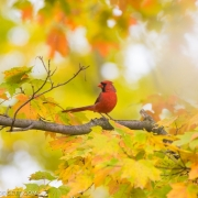 Northern Cardinal Q54A7556