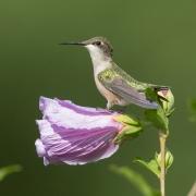 RT Hummingbird 8008
