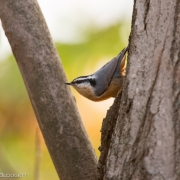 Red Breasted Nuthatch 0664 copy