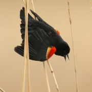 Red Winged Black Bird 9500
