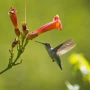 Ruby Throated Hummingbird 7412