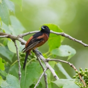 Orchard Oriole-12