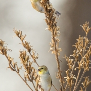 Gold Finches-15