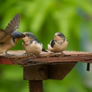 Tree Swallow Family-16