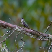 Black Chinned Hummingbird-18