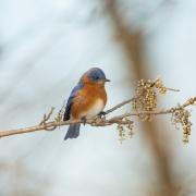 Eastern Blue Bird 2