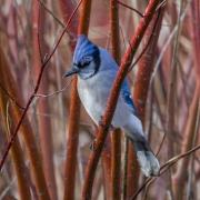 Song Birds & Other Beauties-26