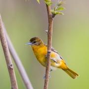 Song Birds & Other Beauties-28