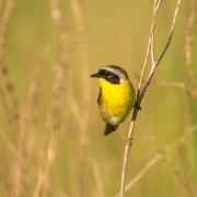 Common Yellowthroat-29