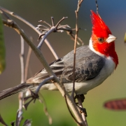 Red Crested Cardinal-4