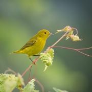 Yellow Warlber-7