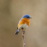 Eastern Blue Bird 1