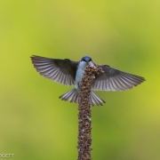 Tree Swallow 2809