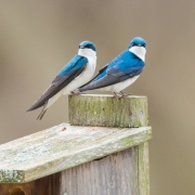 Tree Swallow Pair
