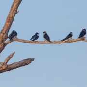 Tree Swallows 9662