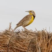 Western Meadowlark 9881