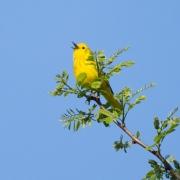 Yellow Warbler 3055