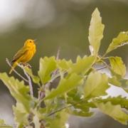 Yellow Warbler 3988
