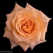 Blush Rose 3633