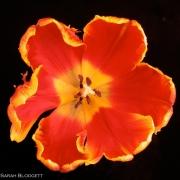 Tulip 3670