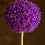 Allium/Color