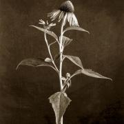 Coneflower Sepia