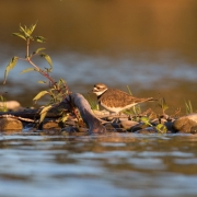 Killdeer 54A0958