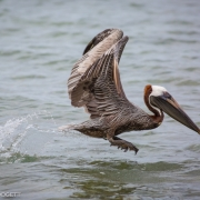 Brown Pelican 54A6354