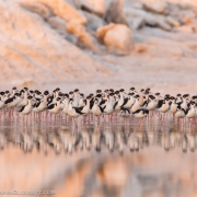Black Necked Stilts 54A6575