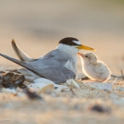 Least Terns_54A7575