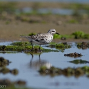 Black Bellied Plover 0903