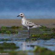 Black Bellied Plover 0910