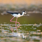 Black Necked Stilt 2512