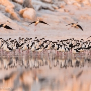 Black-Necked-Stilts-6571