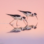 Black Necked Stilts 8479