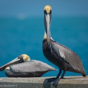 Brown Pelicans 9105