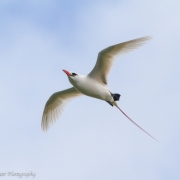 Red Tailed Tropic Bird, Kauai IMG_0831