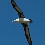 Laysan Albatross 9521