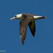 Laysan Albatross 9518
