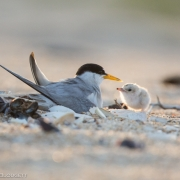 Least Terns 7574