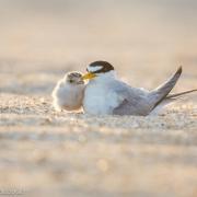 Least Terns 7631