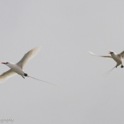 Long Tailed Tropic Bird 0941