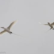 Long Tailed Tropic Bird 0941