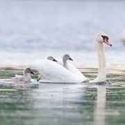 Mute-Swans-and-Cygnets-9647