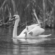 Mute-Swans-and-Cygnets-9912